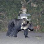 札幌市南区に出没したヒグマ駆除に非難殺到 その疑問と問題点