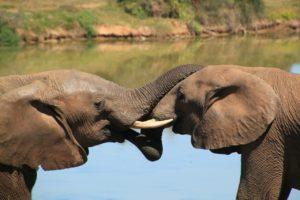 アフリカゾウ 自然 画像