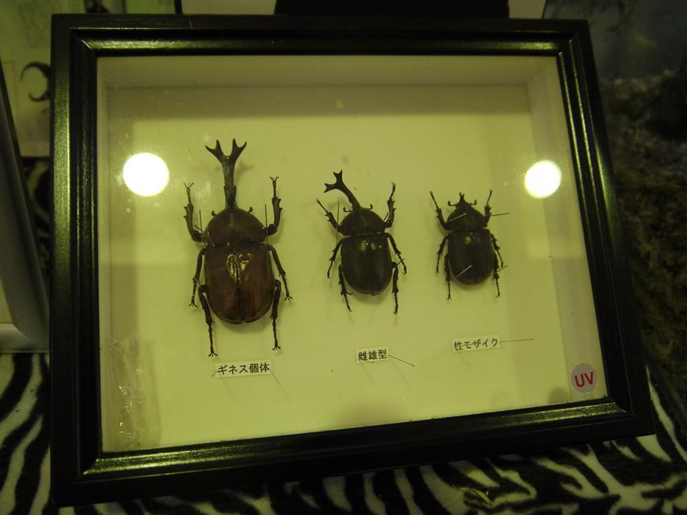 哀川翔 カブトムシ ギネス 昆虫生態館