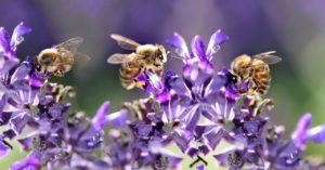 ミツバチ ラグビー